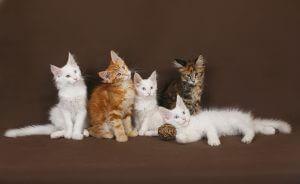купить котенка мэйнкуна