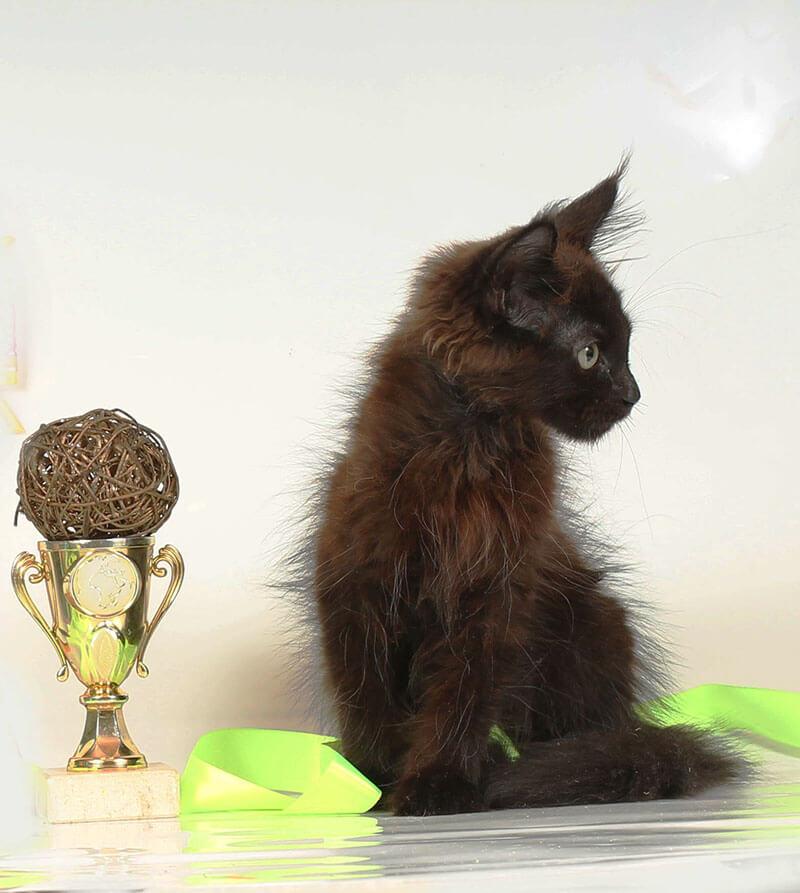 Кот мейн кун 36