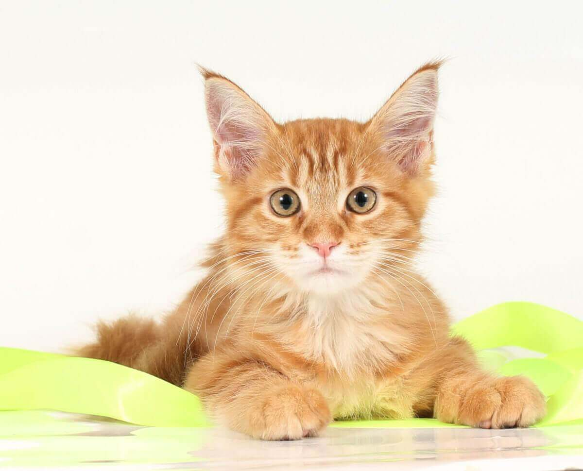 мейн кун кошка 42 ПОМЕТ НА БУКВУ Ж от 20.05.18г