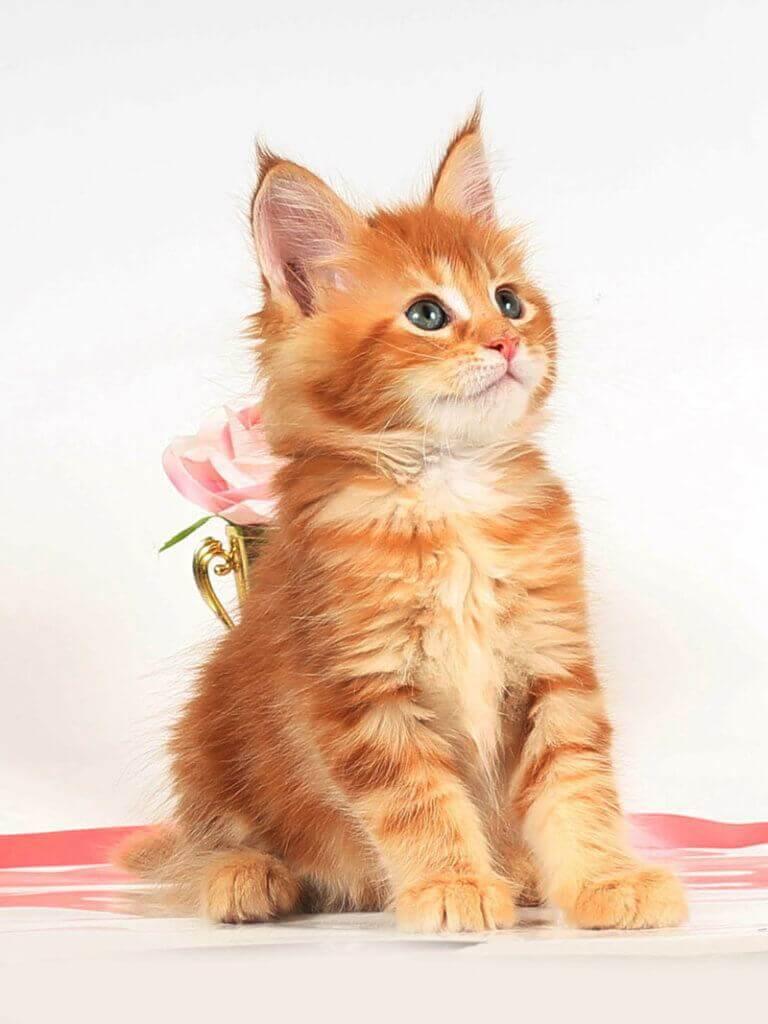 Кошка мейн-кун53 помет на С от 02.07.18