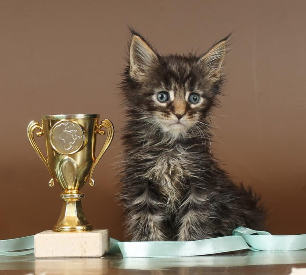 Кот мейн-кун №92 ПОМЕТ НА БУКВУ К от 17.12.18г