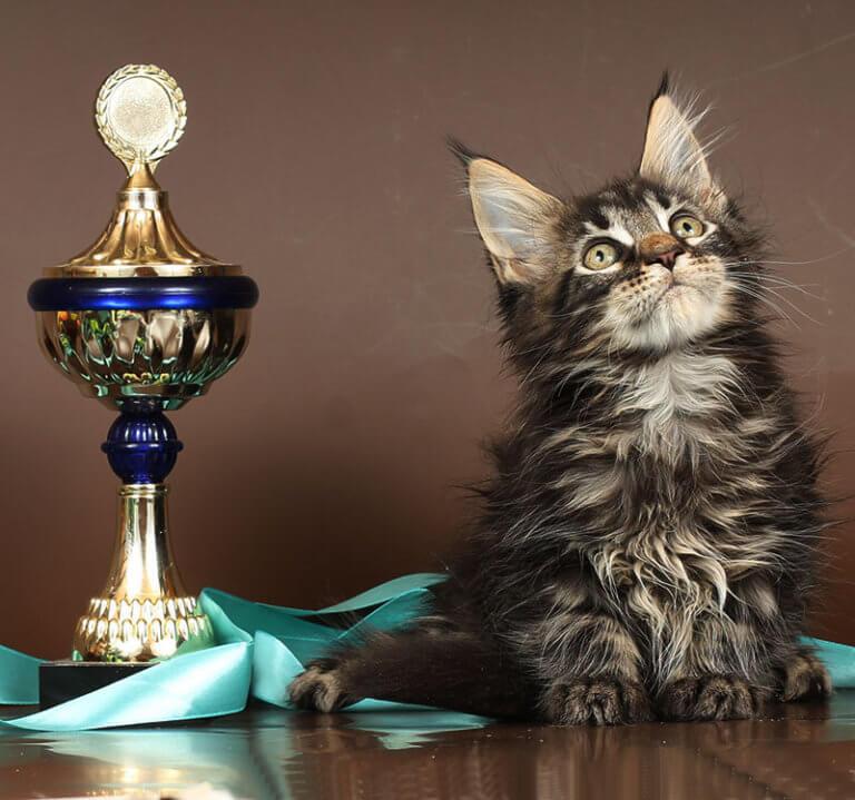 Кот №90 ПОМЕТ НА БУКВУ К от 17.12.18г мейн кун