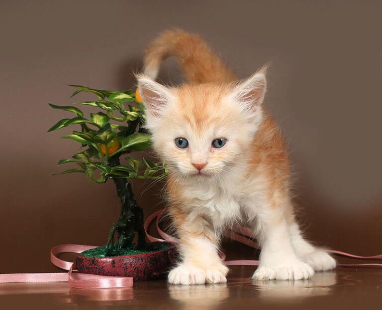Кошка №68 ПОМЕТ НА БУКВУ Б от 21.02.19г ПОЛИДАКТ 6х6х6х6 мейн кун