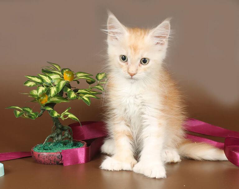 Кошка №68 ПОМЕТ НА БУКВУ Б от 21.02.19г мейн-кун