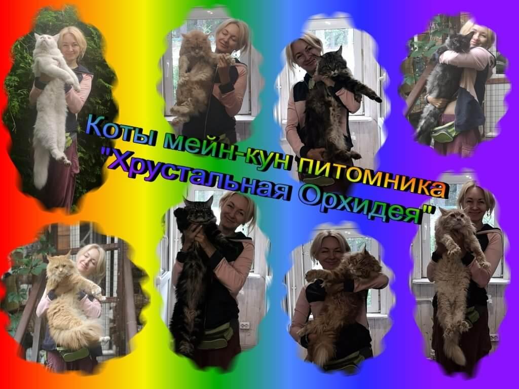 """Коты мейн-кун питомника """"Хрустальная Орхидея."""""""