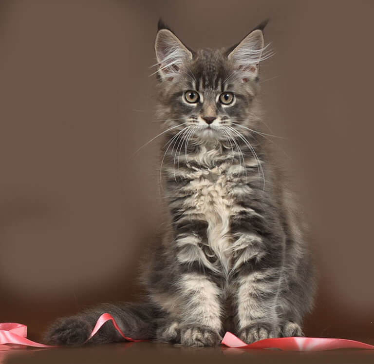 Кошка №13.1 ПОМЕТ НА БУКВУ Я от 31.07.19 мейнкун
