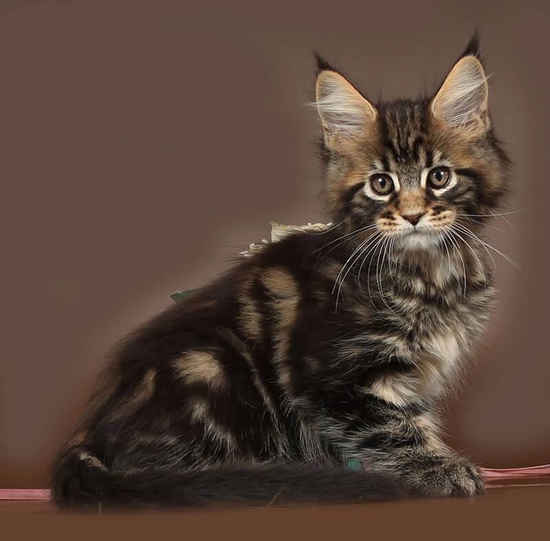 Кошка №72 ПОМЕТ НА БУКВУ Д от 29.01.19 мейнкун
