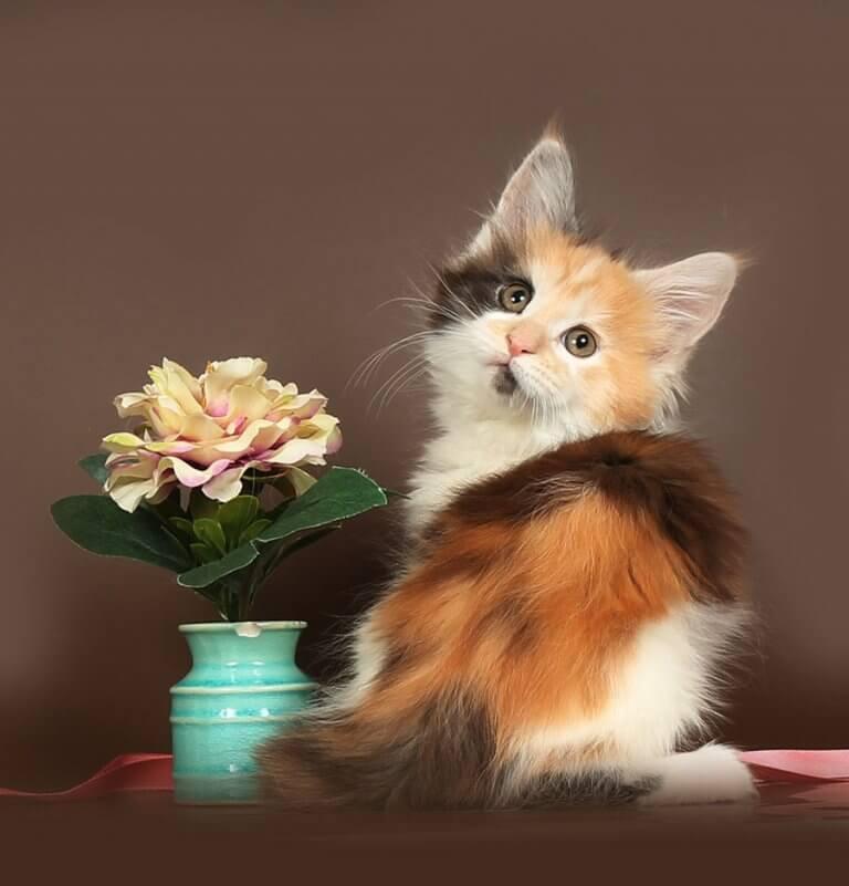 Кошка №20.1 ПОМЕТ НА БУКВУ Д от 29.01.20 мейнкун