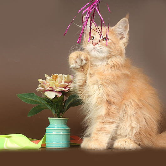 Кошка №21.1 ПОМЕТ НА БУКВУ Л от 01.02.20 мейн-кун