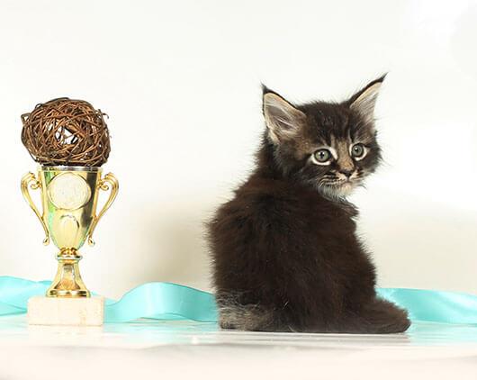 Кот №52.1 ПОМЕТ НА БУКВУ В от 10.04.20 мейн кун