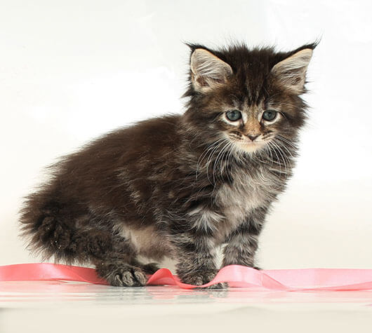 Кошка №25.1 ПОМЕТ НА БУКВУ В от 10.04.20 мейн-кун