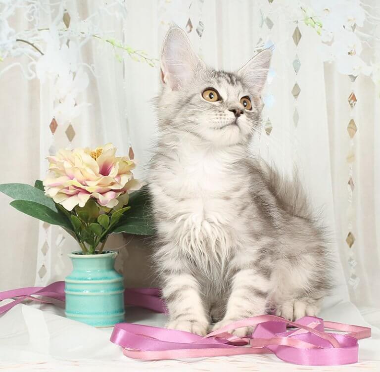 Кошка №26.1 ПОМЕТ НА БУКВУ В от 10.04.20 3006 мейн кун